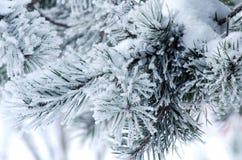 Kiefernniederlassungen umfasst mit Schnee und Frost Lizenzfreies Stockfoto