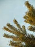 Kiefernniederlassungsbaum lokalisiert auf Himmel Stockfotografie