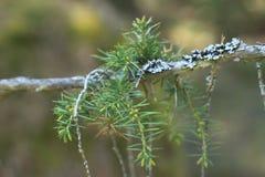 Kiefernniederlassungsnahaufnahme, Baum, Grün stockfoto