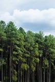 Kiefernpark in den regnerischen Wolken Stockfoto