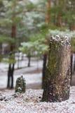 Kiefernstumpf im Wald Lizenzfreies Stockfoto