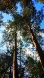 Kiefernwald Lizenzfreies Stockbild