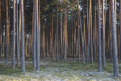 Kiefernwald Stockbilder