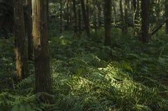 Kiefernwald Stockfoto
