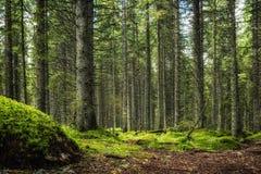 Kiefernwald Lizenzfreie Stockfotos