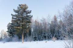 Kiefernwald Lizenzfreie Stockfotografie