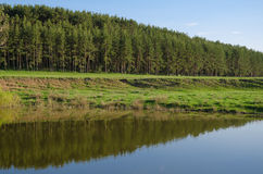Kiefernwald auf den Banken des Flusses stockfotos