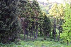 Kiefernwald auf einer Steigung Stockfotografie
