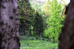 Kiefernwald auf einer Steigung Stockbilder