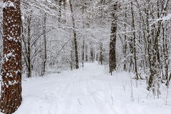 Kiefernwald bedeckt mit Schnee Stockbilder