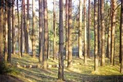 Kiefernwald bei Sonnenuntergang Ein Sonnenstrahl späht durch die Bäume Lizenzfreies Stockfoto