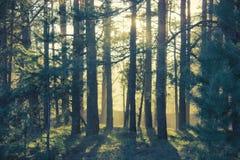 Kiefernwald bei Sonnenuntergang Ein Sonnenstrahl späht durch die Bäume Lizenzfreie Stockfotos