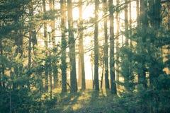 Kiefernwald bei Sonnenuntergang Ein Sonnenstrahl späht durch die Bäume Stockbilder