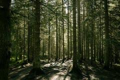 Kiefernwald in den Karpaten Lizenzfreie Stockfotografie