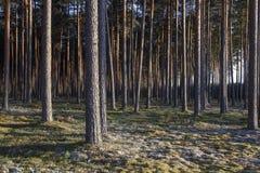 Kiefernwald in den Sonnenuntergängen Stockbilder
