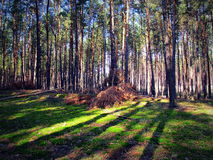Kiefernwald, der Schatten von Bäumen Stockfoto