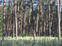 Kiefernwald an einem hellen sonnigen Sommertag Lizenzfreies Stockfoto