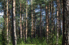 Kiefernwald an einem Sommernachmittag stockfotos