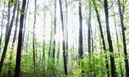 Kiefernwald an einem sonnigen Tag Lizenzfreies Stockbild
