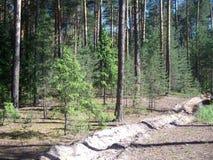 Kiefernwald an einem sonnigen Tag Stockfotos