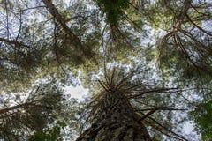 Kiefernwald an einem sonnigen Tag Stockfotografie