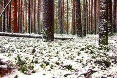 Kiefernwald in erste Tage des Winters Stockfotos