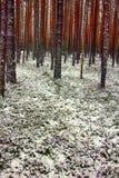 Kiefernwald in erste Tage des Winters Lizenzfreie Stockfotos