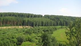 Kiefernwald, -feld und -sommer lizenzfreie stockfotos