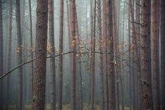 Kiefernwald am frühen Morgen stockbild