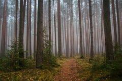 Kiefernwald am frühen Morgen lizenzfreies stockfoto