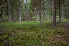 Kiefernwald am Herbst Lizenzfreie Stockbilder