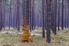 Kiefernwald im Fall Lizenzfreies Stockbild
