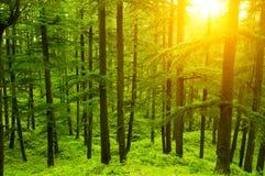 Kiefernwald im goldenen Sonnenlicht Lizenzfreies Stockbild