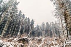 Kiefernwald im Winter Stockfotos