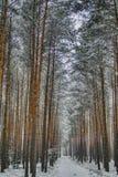 Kiefernwald im Winter, die Straße bedeckt mit Schnee lizenzfreies stockfoto