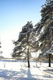 Kiefernwald nach einem Sturm der starken Schneefälle am sonnigen Wintertag Lizenzfreie Stockfotos
