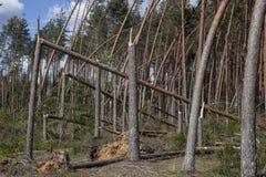 Kiefernwald nach Sturm Stockfotos