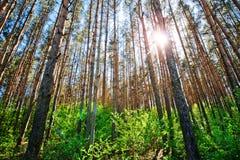 Kiefernwald am sonnigen Tag stockbild