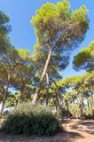 Kiefernwald von Algaida stockbilder