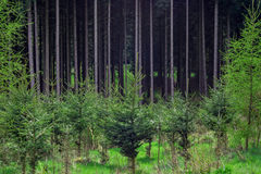 Kiefernwaldbetriebskindertagesstättennadelbaum Stockfotos