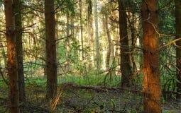 Kiefernwaldboden lizenzfreies stockfoto