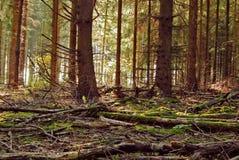 Kiefernwaldgrundhintergrund Stockbild