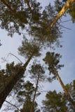 KiefernWaldhimmel, der oben blauem Himmel betrachtet lizenzfreie stockfotos