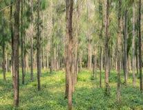 Kiefernwaldplantage Lizenzfreies Stockfoto