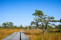 Kiefernwaldszene im Hochmoor Nationalpark Kemeri, Lettland Lizenzfreie Stockfotografie