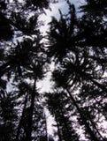 Kiefernwaldung Stockfotografie