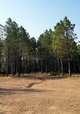 Kiefernwaldung Stockfoto
