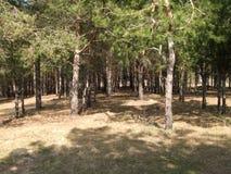 Kiefernwaldung in der Sommerzeit, voller Tag Stockfoto