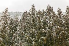 Kiefernwaldwinterlandschaft stockfotografie