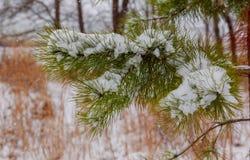 KiefernWeihnachtsbaum-Winterniederlassung im Schnee Stockfotografie